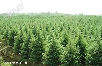 产品名称 塔松 沭阳花卉盆景 苗木花卉 沭阳园林苗木 品牌商标